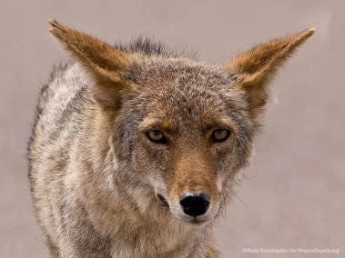 Face-to-face with a Coyote
