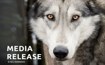 Lawsuit Challenges Wildlife Services' Authority to Kill Wolves in Oregon