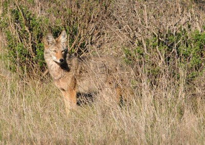 California bans coyote hunts that offer prizes