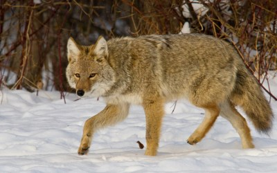Advocates Win Key Victories to Stop Wildlife-Killing Contests in the US