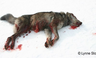 Two-Day Holiday Killing 'Derby' in Idaho Targets Wolves & Coyotes