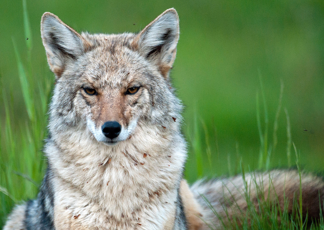 Coyote Killing Contests: The Truth