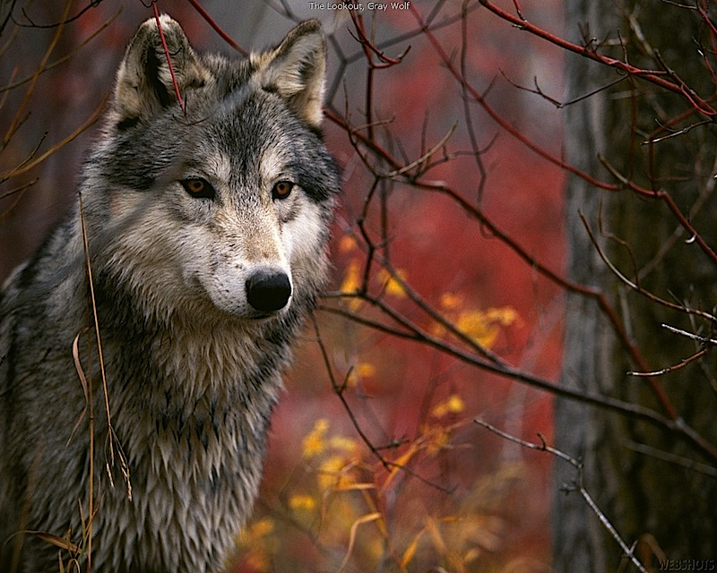 Triumph: Wolf Killing Free-For-All On Federal Land Canceled After Backlash