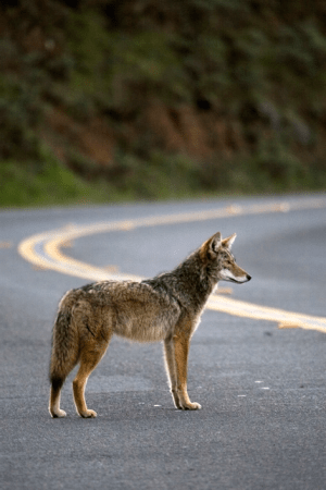 Road mortality is one of the leading causes of death for coyotes living in urban areas. Research indicates that coyotes have become more nocturnal in urban areas to avoid roads and other human-related hazards, though it is not uncommon or unnatural to see coyotes during the day.