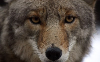 California Becomes First State To Ban Brutal Wildlife-Killing Contests