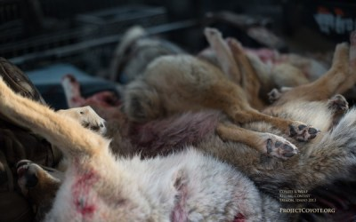 ACTION ALERT: Coyote Killing Contest
