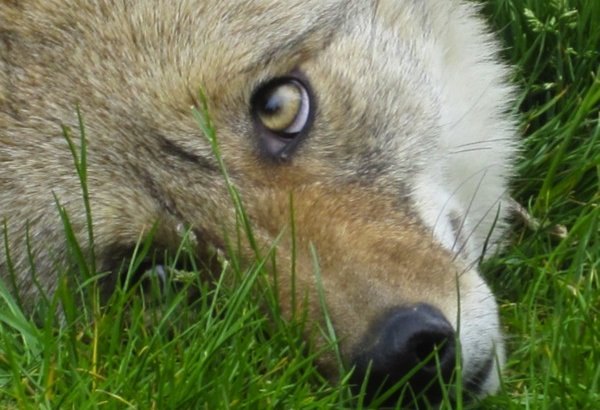 ACTION ALERT: Prevent Cruel Coyote Trapping in the City of Carson, California