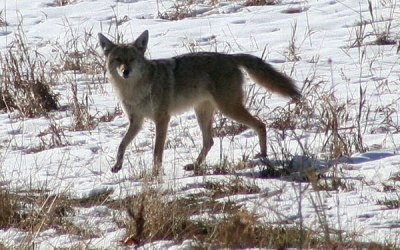 ACTION ALERT: Urge Greenwood Village CO to adopt an ecologically and ethically sound coyote management plan