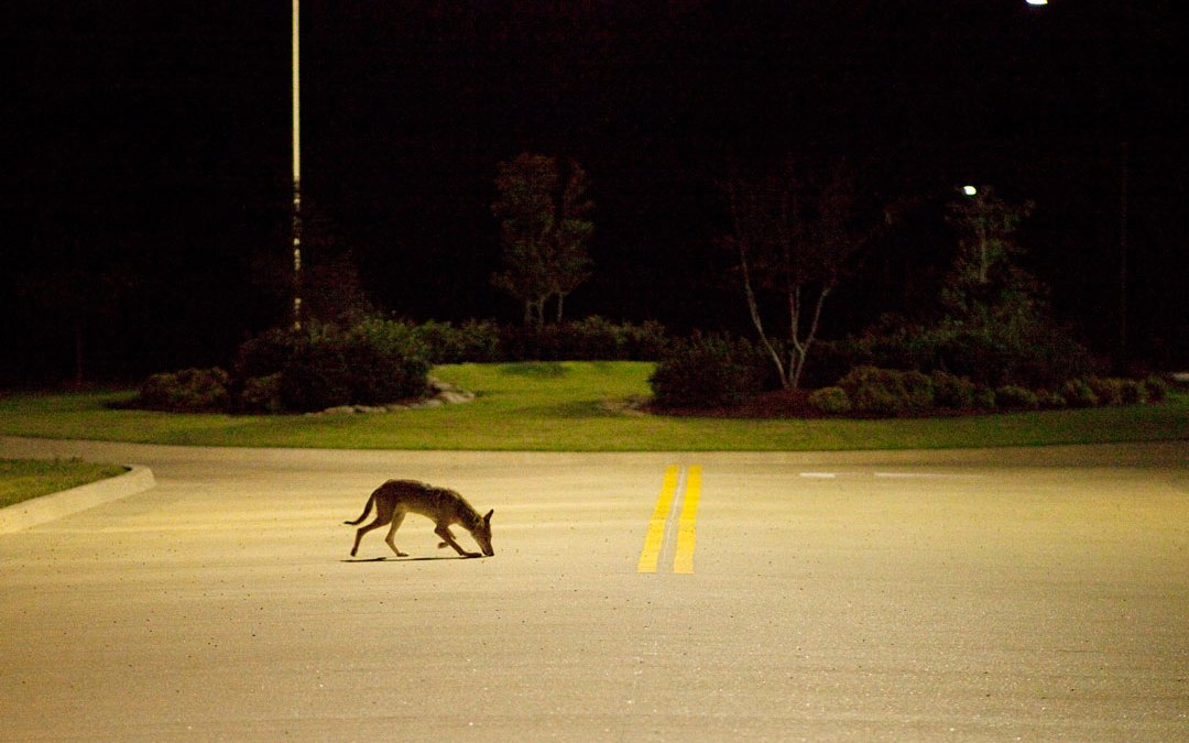 How Humans, and Dogs, Can Coexist With Coyotes in San Francisco