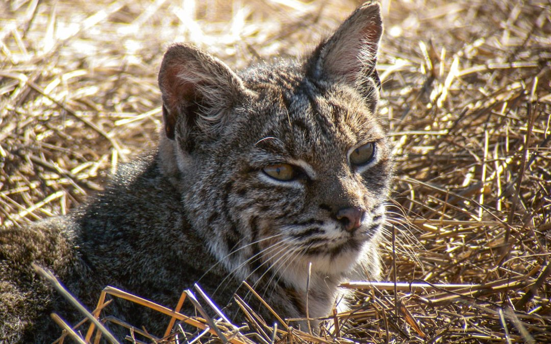 California Bans Bobcat Trapping in 3-2 Vote