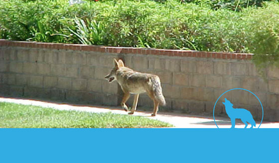 Residents educated on coyote facts and fiction