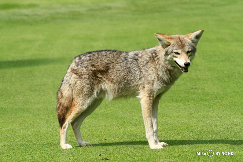 FKR_CC_MIKE_COYOTE_GOLF_COURSE