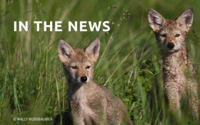 Cities Want to Kill Coyotes — and Animal Welfare Activists Cry Foul