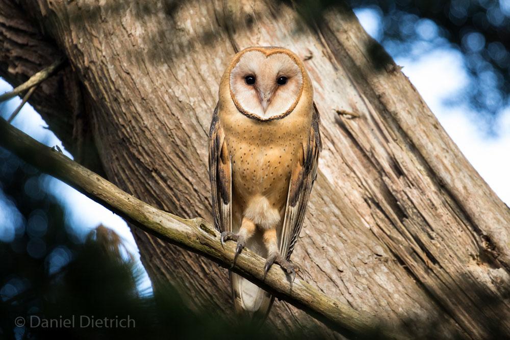 daniel_dietrich-owl-web2