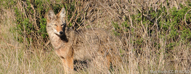 Forum to offer tips for living with coyotes