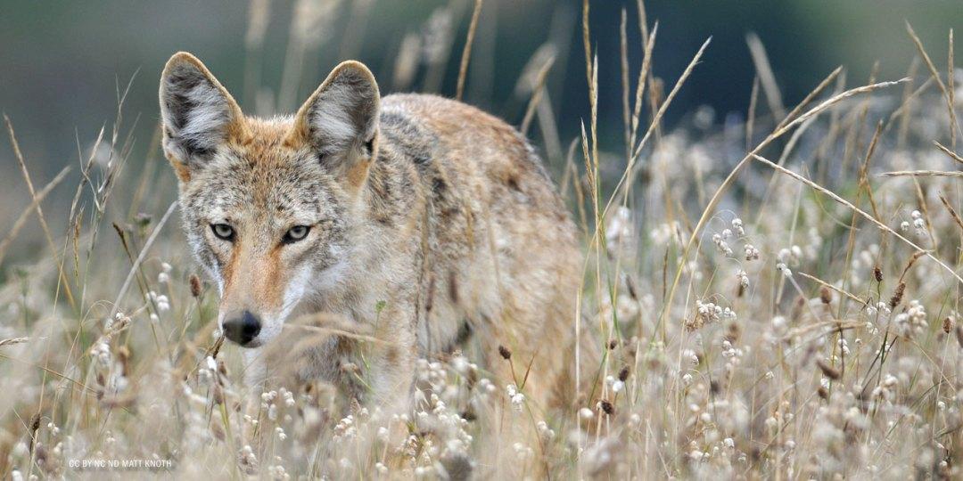 nftf-dan-flores-coyotes5