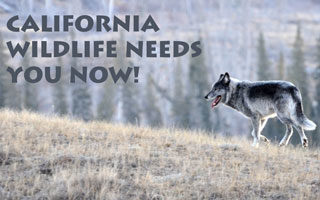 Reforming Predator Management in California