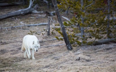 Rare White Wolf Killed in Yellowstone Park Was Shot Illegally