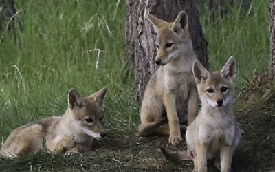 County Kills Coyote Contract