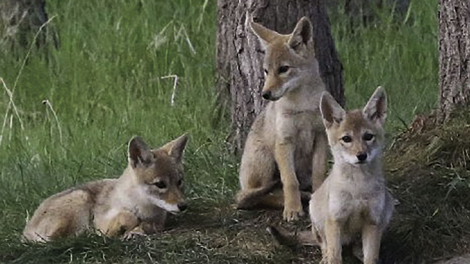 "Environmental Groups Sue USDA for ""Barbaric"" Killing of Millions of Wild Animals"