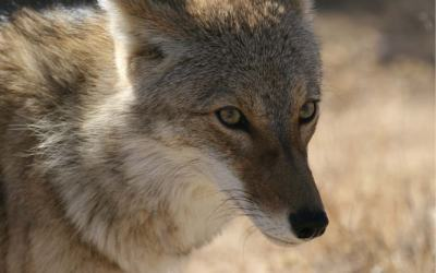 Ask a Ranger: Coyote: Celebrated song dog and wily trickster