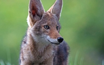 When the new dogs in town are coyotes: Expert Camilla Fox on co-existing with them