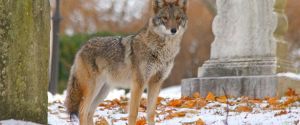 The Real Eastern Coyote @ Rye Public Library   Rye   New Hampshire   United States