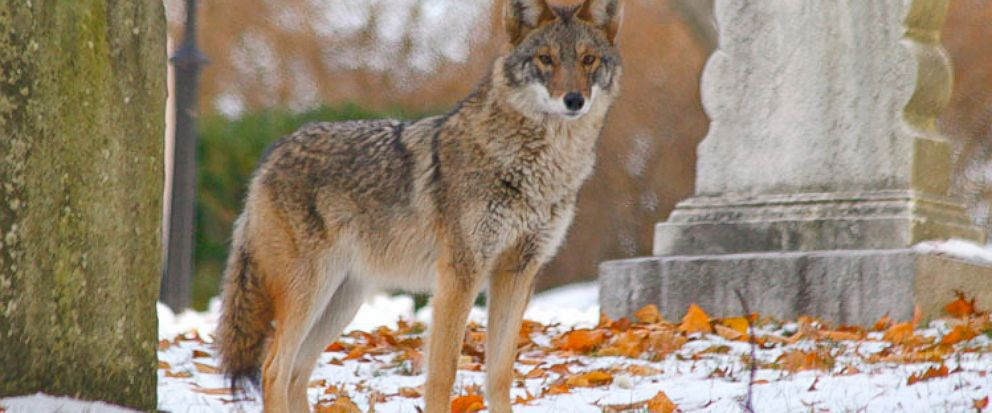 The Real Eastern Coyote