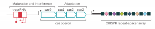 Figure 1: A Typical CRISPR-Cas system loci Source: Doudna & Charpentier, 2014