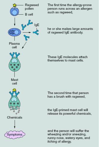 Demonstrates the IgE mediated response to allergy (Elshemy et al. 2013)