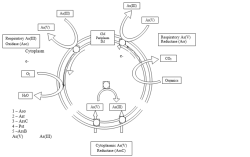 Mechanisms of microbial transformations of arsenic (Lloyd et. al 2006)