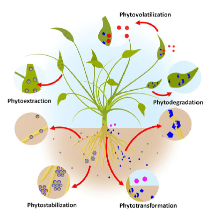 Phytoremediation process (Source: Parmar and Singh, 2015)