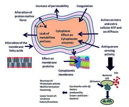 Mechanism of alkaloids and terpenoids in antibacterial activities (Bazaka et al., 2015)