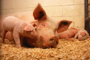 do not eat pig