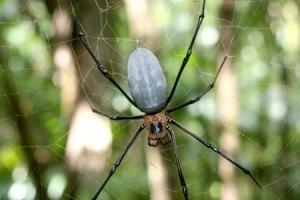 golden orb web spider palua bentprop.org