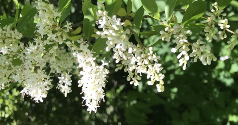 Chinese Privet Growing Wild