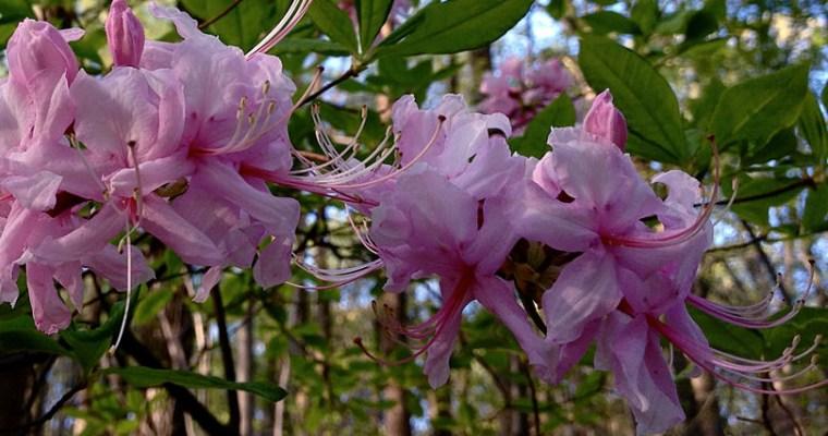 Planting Native Azaleas