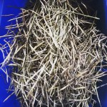 Tree Collard Seed