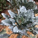 Michigan Tree Collard Plant
