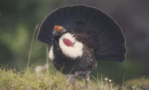 male blue grouse
