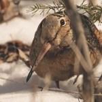 spring woodcock