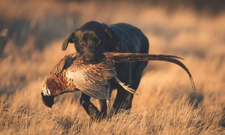 retrieving pheasant