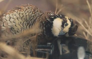 A bobwhite quail on a shotgun.