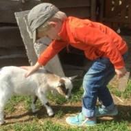Geiten aaien op de kinderboerderij van Tivoli in Mechelen
