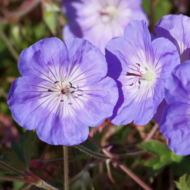 vivaces couvre sols a longue floraison