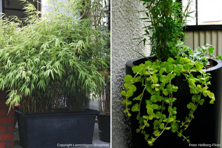 bambou en pot comment cultiver en 5