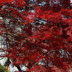 Japanese Maple 'Fire Glow'