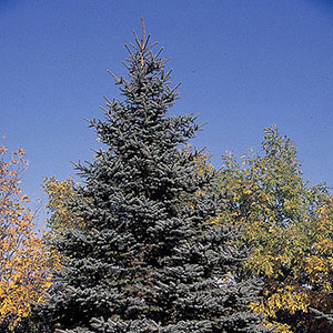 Blue Spruce 'Fat Albert'