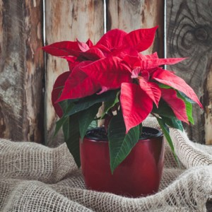 Caring for your Poinsettia Past the Holidays