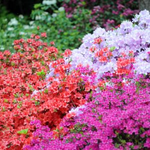 plant azaleas for a pop of color